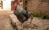 Überlebender des Bhaktapur-Chicken-Massakers.