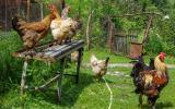 Hühner-Idyll.